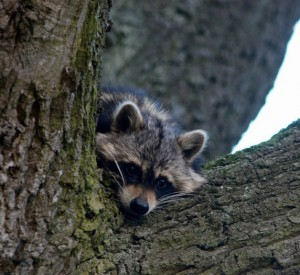 Waschbär im Baum